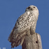 snowy owl on post, eau claire wi