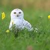 snowy owl, eau claire wi