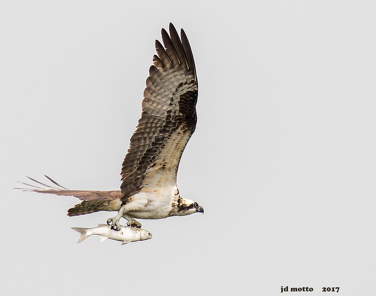 osprey with mullet, south padre tx
