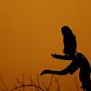 giant eagle owl at sundown, botswana, africa
