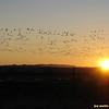 snow geese blastoff, bosque del apache, new mexico
