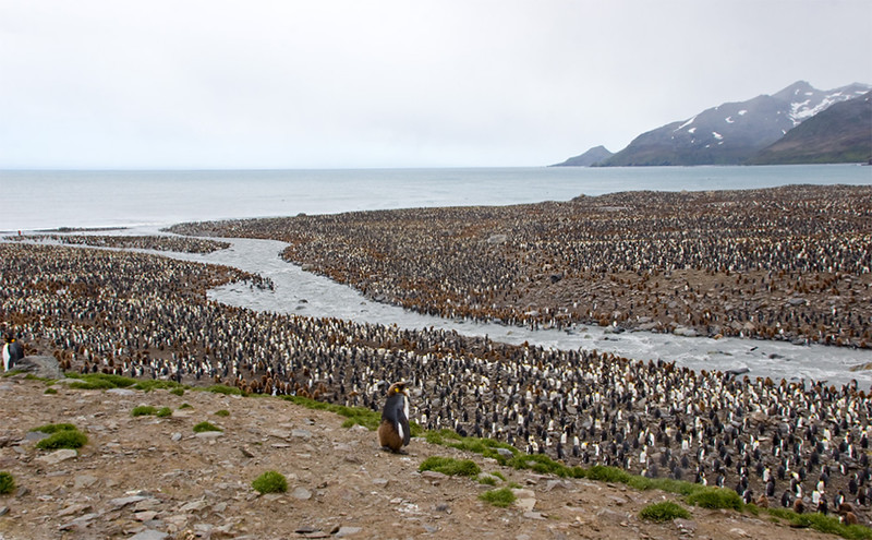 king penguin colony with chicks, south georgia island
