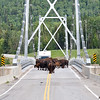 bison herd on the liard river bridge