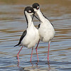 black-necked stilt courtship, south padre, texas
