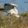 wood stork feeding, south padre, texas