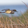 tricolored heron flying over reeds, port aransas, texas