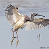 tricolored heron landing, south padre, texas