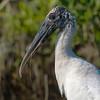 wood stork portrait