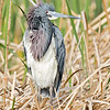 tricolored heron, estero llano grande state park, texas