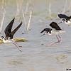black-necked stilts landing, estero llano grande state park, texas
