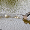 american coot running across water, south padre island, texas