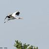 wood stork in flight, south padre, texas