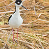 black-necked stilt on grass, south padre island, texas
