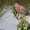 green heron, south padre island, texas