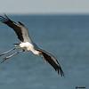 wood stork landing, south padre, texas
