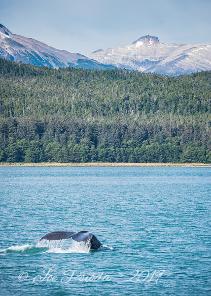 Humpback Whale - Tail in the Wind