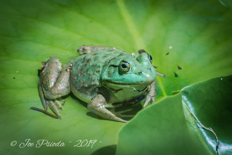 Lily Pad - A Frogs Pillow
