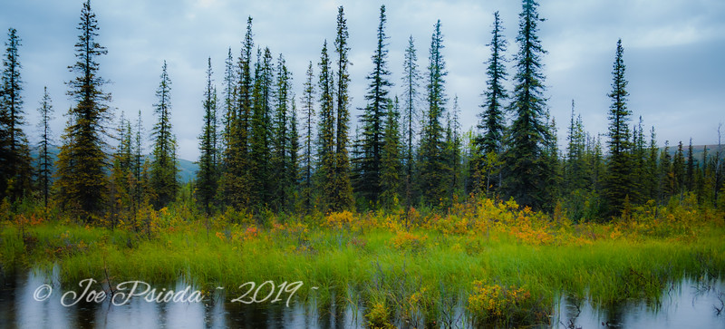 Black Spruce in Denali