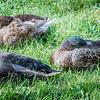 Three Mallards Resting