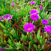 Bandon Beach Flowers