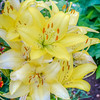 Yellow Tiger Lillies
