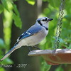 Morning Blue Jay
