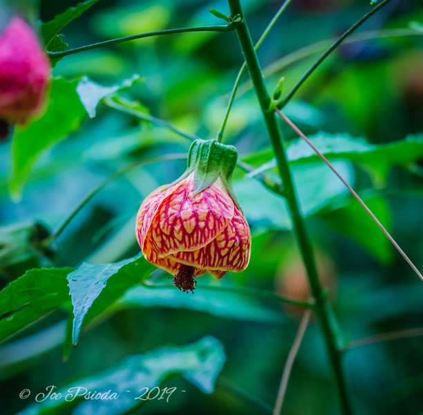 Chinese Lantern - Flowering Maple