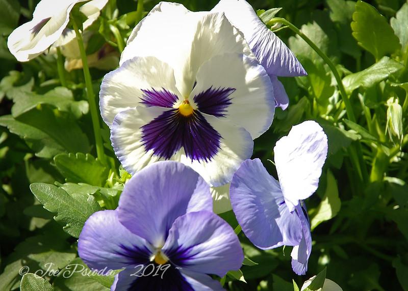 Purple & White Blossoms
