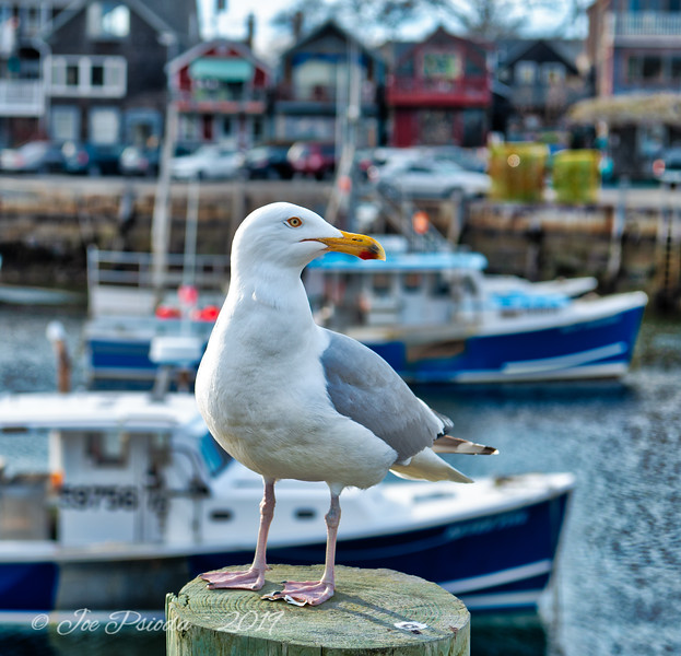 A Seagull At My Photo Gallery