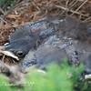 Mockingbirds Hatched