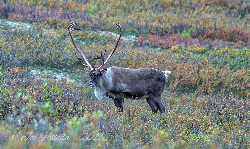 Caribou Shedding Velvet
