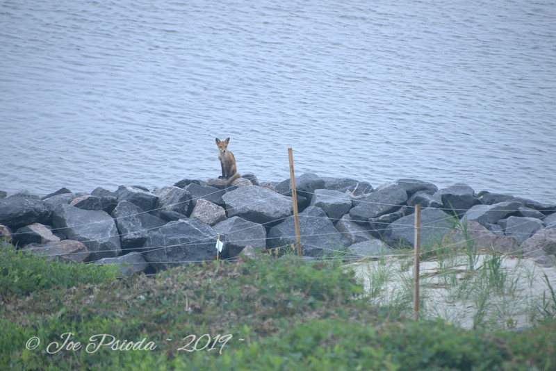 Fox Family at Narrows