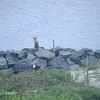 Fox Family at Narrows
