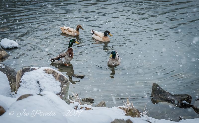 Mallards in the Snow
