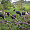 Black & White Dairy Cows