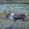 Caribou on Watch