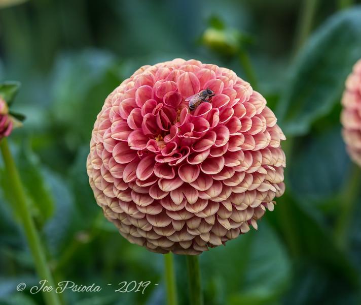 Bee Loves a Zinnia Blossom