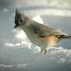 Snowy Bird