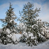Snow Laden Pines
