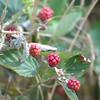 Blackberries Still Tart