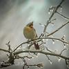 Female Cardinal Visits on an Icy Day
