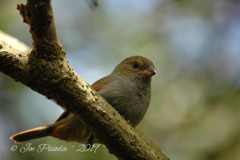 Local Bird in St Lucia