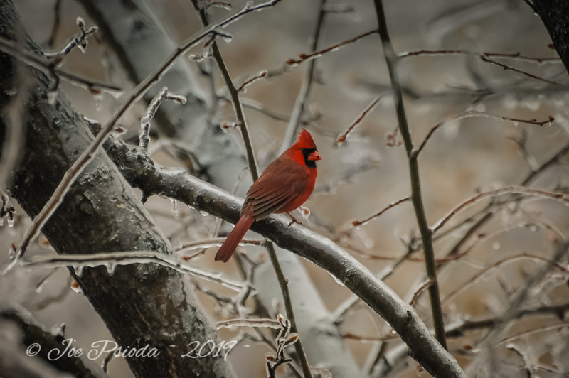 Male Cardinal on an Icy Day