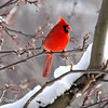 Winter Morning Cardinal