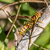 Golden Paper Wasp