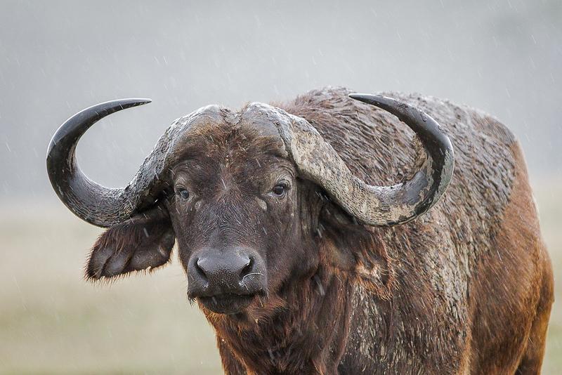 Cape Buffalo_John Hoffman.jpg