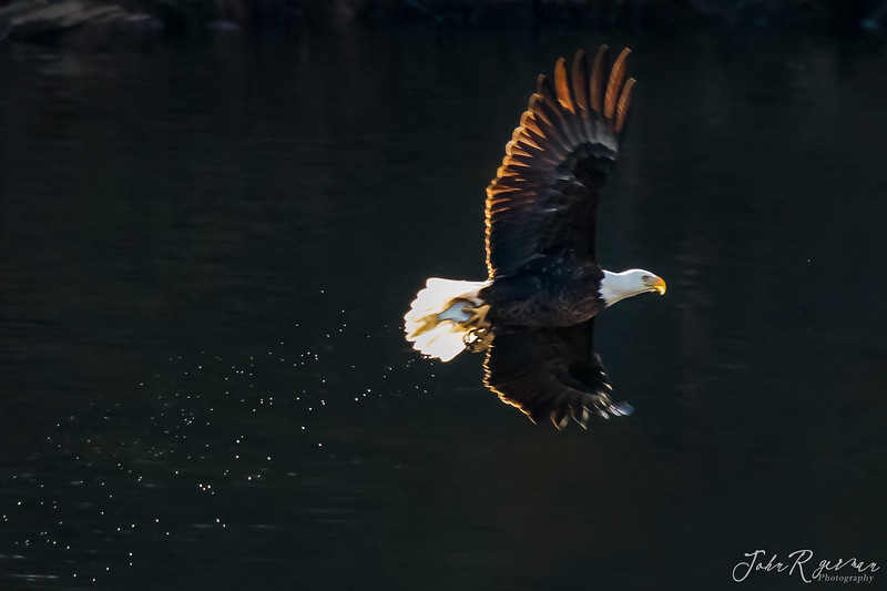 Backlit Eagle