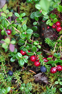 Fruits of the forest floor - Denali National Park in the fall.