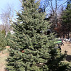 John Hussey's Christmas tree farm in Townsend sells the blue spruce Christmas tree. SUN/JOHN LOVE