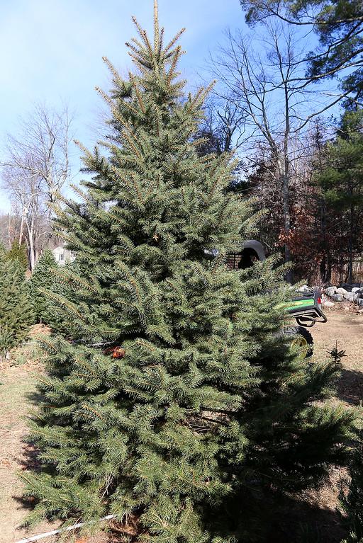 . John Hussey\'s Christmas tree farm in Townsend sells the blue spruce Christmas tree. SUN/JOHN LOVE